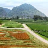 Coltivazione della pianta di tè Fotografie Stock Libere da Diritti