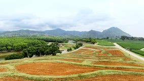 Coltivazione della pianta di tè Fotografia Stock