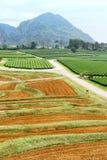 Coltivazione della pianta di tè Immagine Stock
