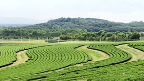 Coltivazione della pianta di tè Immagini Stock Libere da Diritti