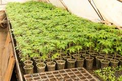 coltivazione della serra dei pomodori in agricultu fotografia stock