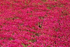 Coltivazione della serra del Mesembryanthemum Crystallinum immagini stock libere da diritti