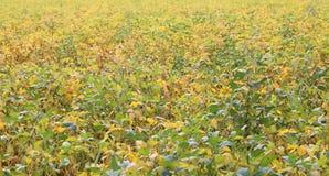 Coltivazione della soia con i baccelli quasi maturi nel campo coltivato Fotografie Stock Libere da Diritti