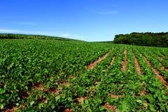 Coltivazione della soia nel sud del Brasile Bella crescita verde dei campi Fotografia Stock