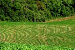 Coltivazione della soia nel sud del Brasile Bella crescita verde dei campi Fotografie Stock