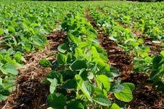 Coltivazione della soia nel sud del Brasile Bella crescita verde dei campi Immagini Stock