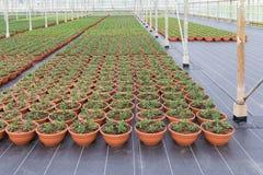 Coltivazione delle piante d'appartamento in una serra olandese Immagini Stock