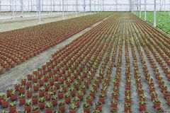 Coltivazione delle piante d'appartamento in una serra olandese Fotografia Stock
