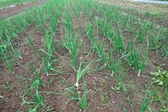 Coltivazione delle piante di cipolle nella valle di Po in Italia Fotografia Stock Libera da Diritti
