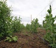 Coltivazione delle piante di piselli sull'azienda agricola facendo uso dei concimi organici Fotografia Stock Libera da Diritti