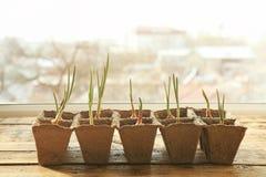 Coltivazione delle piante sul davanzale della finestra Immagini Stock