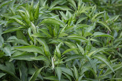 Coltivazione delle piante verde del ` di Chili Peppers Immagine Stock Libera da Diritti