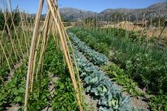 Coltivazione delle verdure nel giardino Immagine Stock
