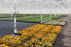 Coltivazione delle viole variopinte in una serra olandese Fotografia Stock Libera da Diritti