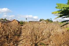 Coltivazione di cereale in Pomerini in Tanzania - in Africa Fotografia Stock Libera da Diritti