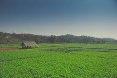 Coltivazione di estate delle verdure Fotografia Stock
