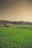 Coltivazione di estate delle verdure Fotografie Stock