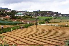 Coltivazione di grano negli altopiani dello Sri Lanka Fotografia Stock Libera da Diritti