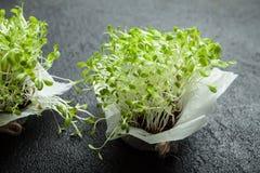Coltivazione di lattuga micro verde per la preparazione di alimento sano e sano immagini stock