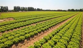 coltivazione di lattuga verde nella valle di Po in Italia Immagini Stock Libere da Diritti