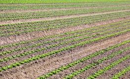 coltivazione di lattuga verde in suolo sabbioso Fotografie Stock Libere da Diritti