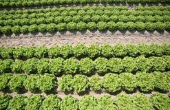 coltivazione di lattuga verde in suolo sabbioso fertile nel Padana Immagine Stock