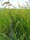 Coltivazione di riso rosso in Provenza Francia Royalty Free Stock Image