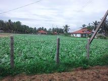 Coltivazione di verdure fotografia stock libera da diritti