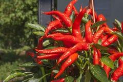 Coltivazione domestica dei peperoncini rossi in un vaso Peperoncini nei cespugli sul portone del ferro Fotografie Stock Libere da Diritti
