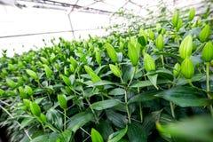 Coltivazione industriale dei tulipani dei fiori in grande serra Immagine Stock