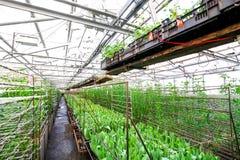 Coltivazione industriale dei tulipani dei fiori in grande serra Immagini Stock Libere da Diritti