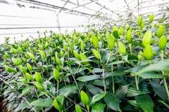 Coltivazione industriale dei tulipani dei fiori in grande serra Fotografia Stock