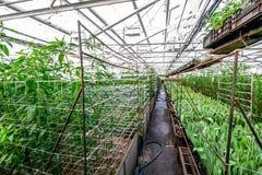 Coltivazione industriale dei tulipani dei fiori in grande serra Immagini Stock