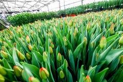 Coltivazione industriale dei tulipani dei fiori in grande serra Fotografie Stock