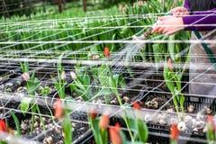 Coltivazione industriale dei tulipani dei fiori in grande serra Fotografia Stock Libera da Diritti