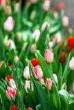 Coltivazione industriale dei tulipani dei fiori in grande serra, verticale Fotografie Stock