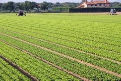 Coltivazione intensiva di insalata in Italia del Nord con la verdura Immagini Stock