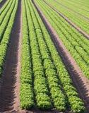 Coltivazione intensiva di insalata in Italia del Nord con la verdura Fotografia Stock
