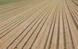 Coltivazione intensiva di lattuga che cresce nel suolo sabbioso Fotografia Stock