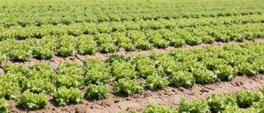 Coltivazione intensiva di lattuga nella valle di Po in Italia Fotografia Stock