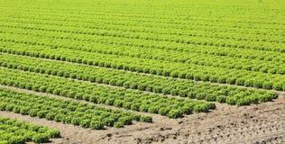 Coltivazione intensiva di lattuga verde fresca molto nel fertile fotografia stock