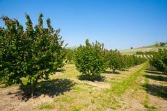 Coltivazione nocciola, Langhe, Italia Fotografia Stock