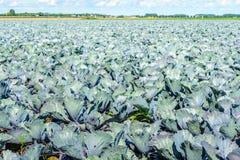 Coltivazione organica dei cavoli rossi nella stagione estiva Immagine Stock