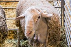 Coltivi correttamente le pecore nella recinzione all'il bestiame Fotografia Stock