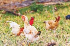 Coltivi i polli che cercano l'alimento sulla terra Fotografia Stock