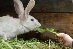 Coltivi il coniglio domestico che fiuta una foglia fresca del dente di leone dal braccio del bambino Immagine Stock Libera da Diritti