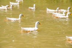 Coltivi il nuoto bianco dell'anatra della natura sullo stagno o sul lago Immagine Stock