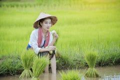 Coltivi il riso Immagini Stock