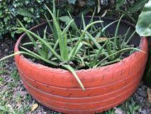 Coltivi l'aloe vera o bruci la pianta dell'aloe o dell'aloe delle Barbados o del pronto soccorso Fotografie Stock Libere da Diritti
