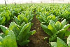 Coltivi l'insalata in serra immagine stock libera da diritti